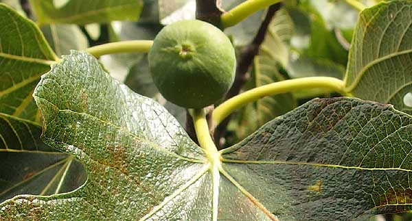 Small ripening fig fruit.
