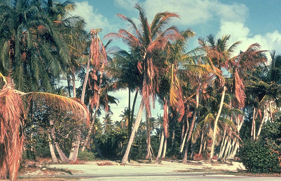 Coconut palms with Lethal Yellowing Disease.