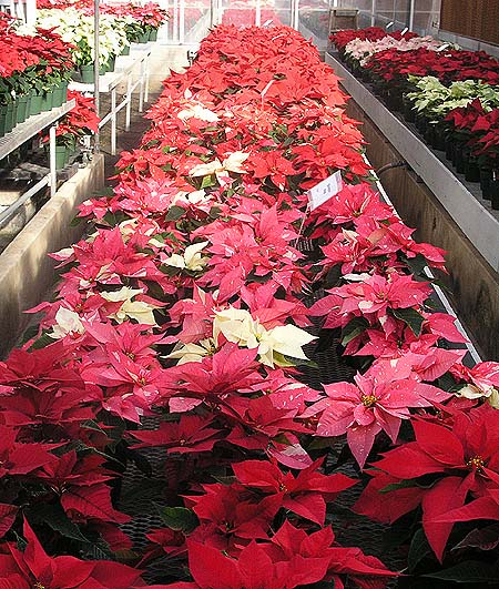 Portion of the Poinsettia trial at Rutgers University