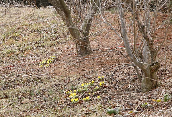 Winter aconite flowers  (Eranthus hyemalis)  under deciduous trees on our berm