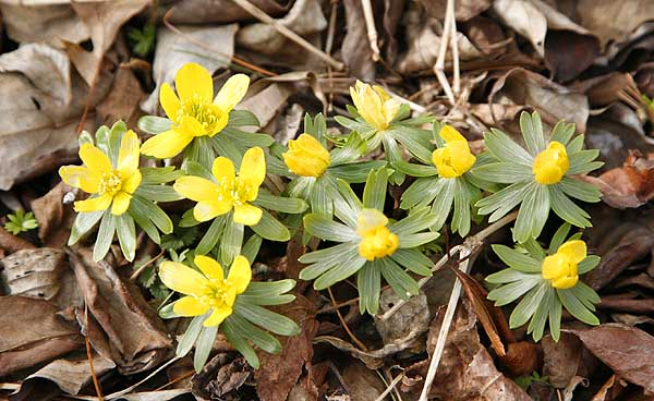Winter aconites are the first plants to flower in the garden.