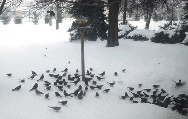 Feeding wild birds in the winter months.