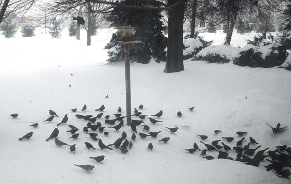 birds_feeding_snow