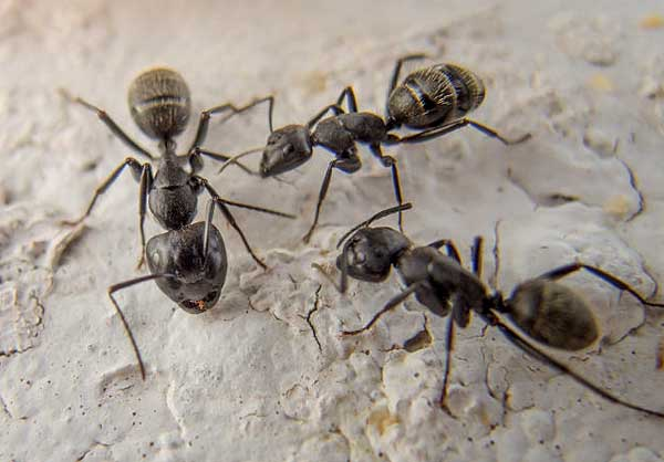 Black ants. Photo courtesy of libreshot.com