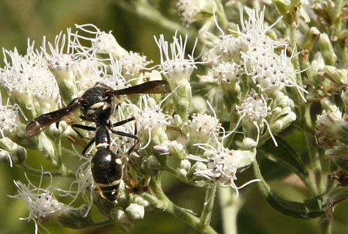 bug on boneset