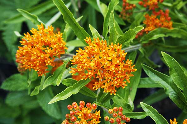 18 Reasons to grow BUTTERFLY WEED