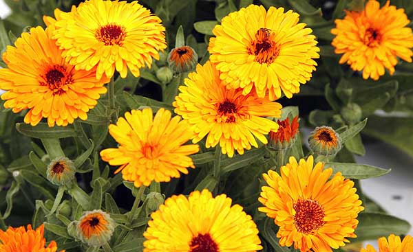 calendula_14_reasong_blog