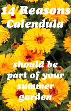 14 Reasons CALENDULA should be part of your summer garden.