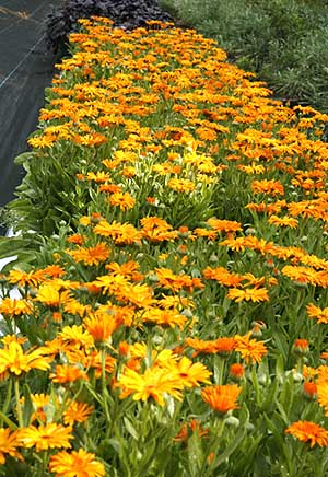 calendula or pot marigolds