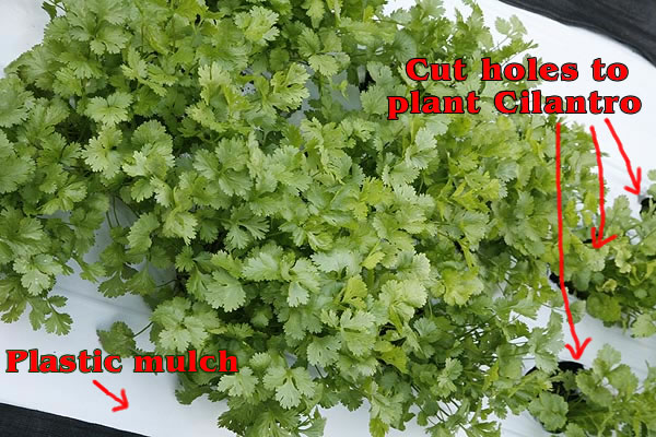 Cilantro plants growing in plastic mulch