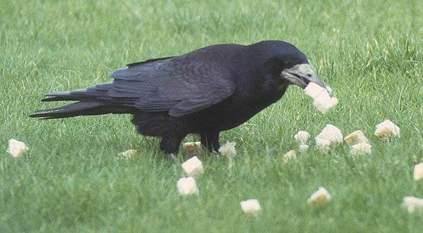 Large crow picking up as many bread cubes as it can