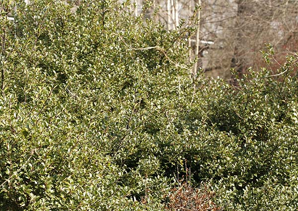Holly bushes in winter