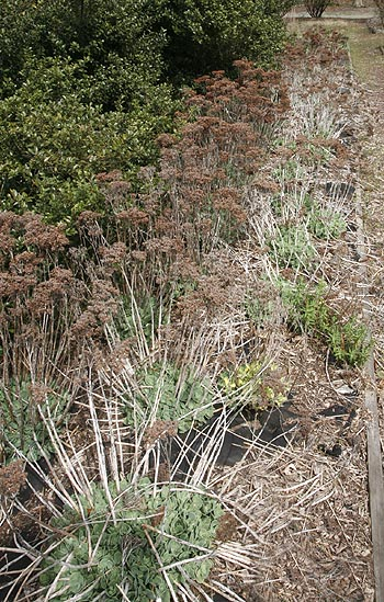 Ice plants (sedum spp.) before spring cleanup