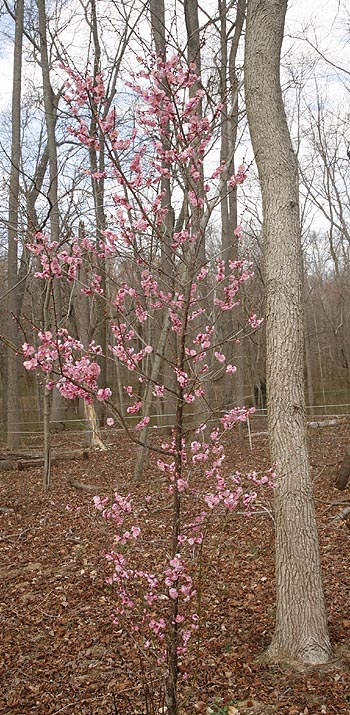 Warm weather brought the lovely Japanese Apricot tree into bloom way to early.
