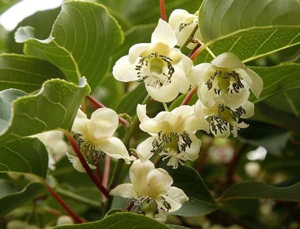 kiwi_flowers