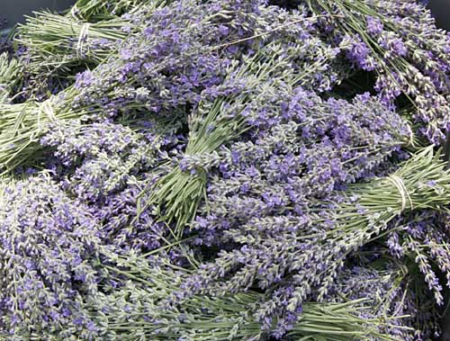 Bunches of lavender fresh from the field