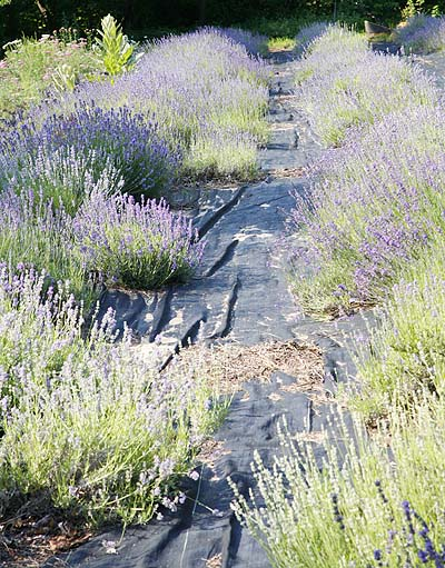 lavender field blooming