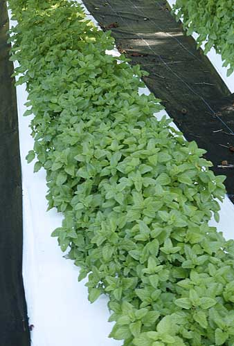 Lemon balm plants