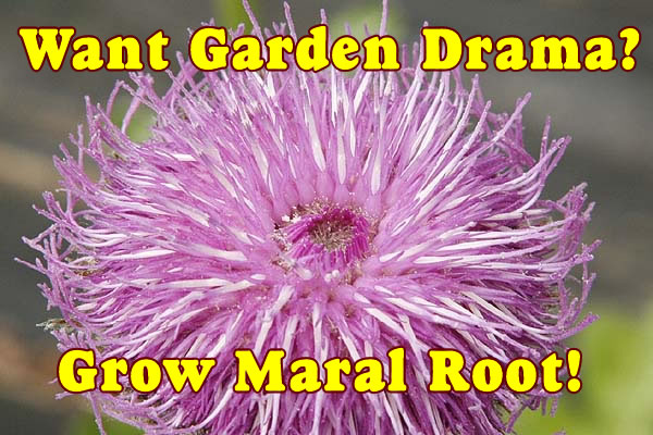 Want Garden Drama?  Grow Maral Root