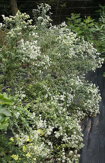 Cascade of flowering mountain mint plants (Pycnanthemum virginianum ) in our field.