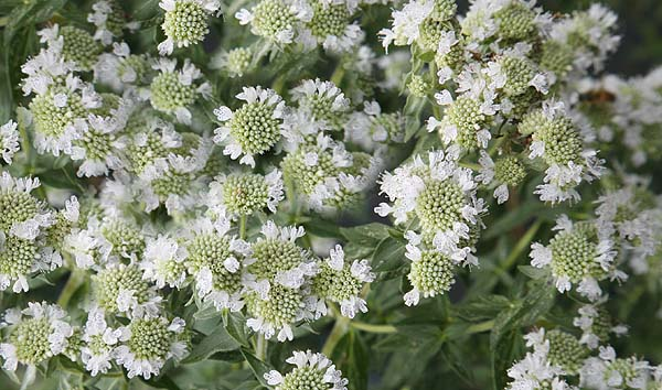29 REASONS TO GROW MOUNTAIN MINT.