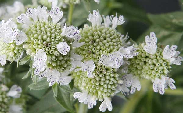 Close up Mountain Mint flowers (Pycnanthemum virginianum )