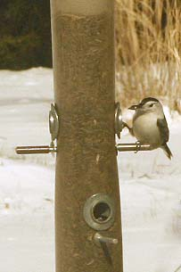 Nuthatch on sunflower feeder in our garden