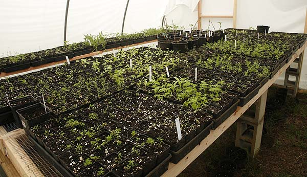 Trays of recently transplanted seedlings in our new potting house