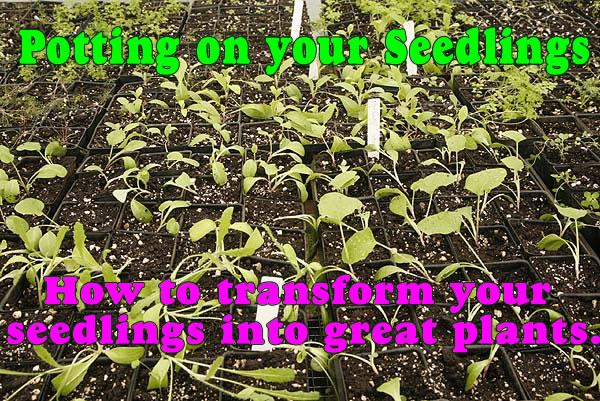 Potting On Your Seedlings.