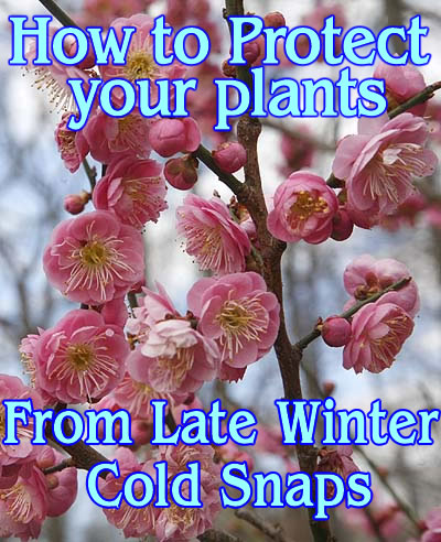 How to Protect your plant from late winter cold snaps.