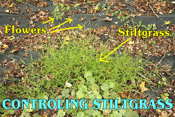 Dealing With Japanese Stiltgrass.
