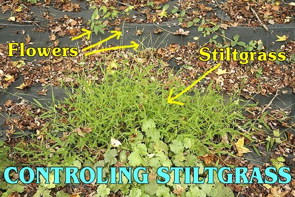 Dealing With Japanese Stiltgrass.