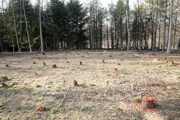 Cleared area with tree stumps marked all 117 of them.