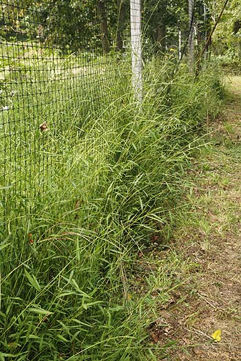 In ideal locations Japanese Stiltgrass can reach four feet in height.