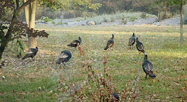 Group of turkeys.