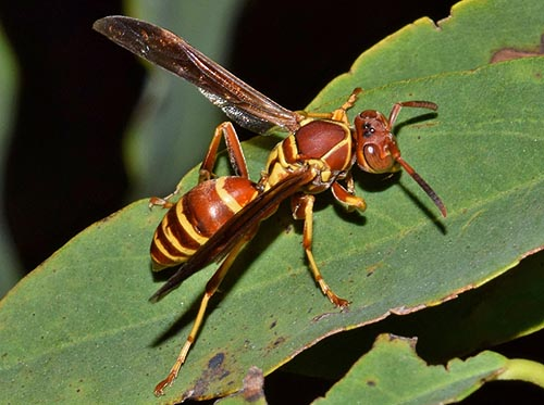 Paper wasp has a nasty sting and can sting repeatedly.
