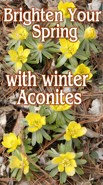 winter_aconites_words2