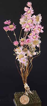 /graphics/Dried_flowers/Rhodanthe_upright.jpg