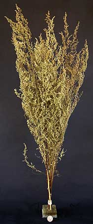 /graphics/Dried_flowers/artemisia_medium_upright.jpg