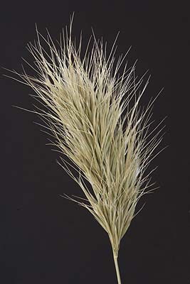 /graphics/Dried_flowers/bromus_close.jpg