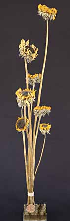 /graphics/Dried_flowers/sunflower_upright.jpg