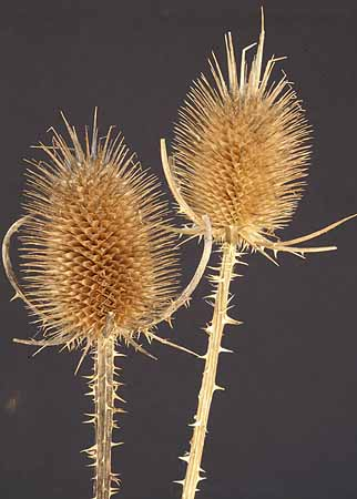 /graphics/Dried_flowers/teasel_close2.jpg