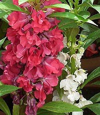 Balsam Topknot - Mixed colors Impatiens balsamin