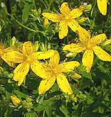 Saint Johns wort Hypericum perforatum