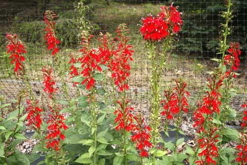 Cardinal Flower Lobelia Cardinalis Organically Grown Flower Seeds