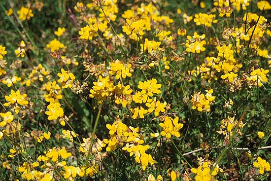 Bird's Foot Trefoil Lotus corniculatus