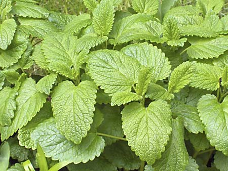 Lemon Balm Melissa officinalis