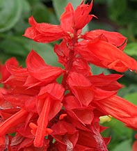 Salvia, Red Salvia splendens