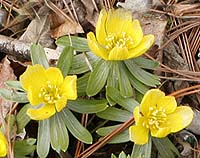 Winter Aconite Eranthis hyemalis