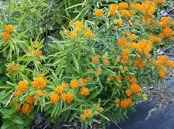 Butterfly Weed Asclepias tuberosa interior